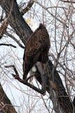 开放秃头额嘴的老鹰 免版税图库摄影