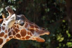 开放长颈鹿的嘴 库存图片