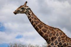 开放长颈鹿的嘴 免版税库存图片