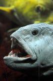 开放鱼的嘴 免版税图库摄影