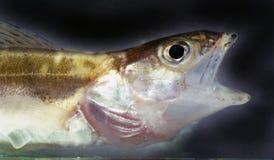开放鱼的嘴 免版税库存照片