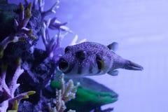 开放鱼的嘴 Arothron hispidus 图库摄影