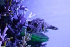 开放鱼的嘴 Arothron hispidus 免版税库存照片