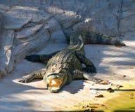 开放鳄鱼的嘴 免版税库存图片