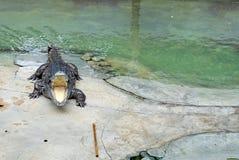 开放鳄鱼的嘴 库存图片