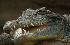 开放鳄鱼顶头的嘴 免版税库存图片