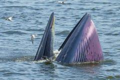 开放Bryde的鲸鱼她的登上 免版税库存图片