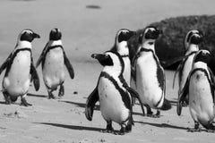 开普敦企鹅海岛在南非 免版税库存照片