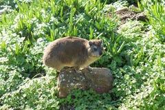 开普敦半岛岩石非洲蹄兔  图库摄影