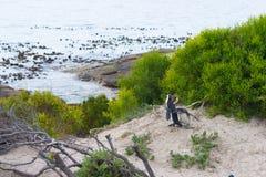 开普敦半岛的非洲企鹅殖民地冰砾的靠岸,西蒙` s镇,西开普省省,开普敦区,南Af 免版税库存照片