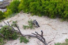 开普敦半岛的非洲企鹅殖民地冰砾的靠岸,西蒙` s镇,西开普省省,开普敦区,南Af 库存图片