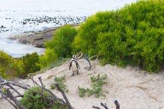 开普敦半岛的非洲企鹅殖民地冰砾的靠岸,西蒙` s镇,西开普省省,开普敦区,南Afr 免版税库存图片