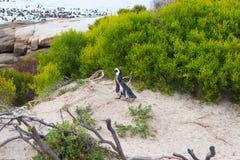 开普敦半岛的非洲企鹅殖民地冰砾的靠岸,西蒙` s镇,西开普省省,开普敦区,南Afr 库存图片
