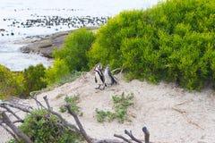 开普敦半岛的非洲企鹅殖民地冰砾的靠岸,西蒙` s镇,西开普省省,开普敦区,南Afr 库存照片