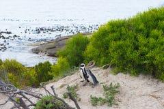 开普敦半岛的非洲企鹅殖民地 免版税库存照片