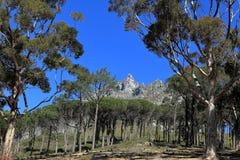 开普敦桌山的森林  免版税图库摄影