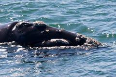 开普敦鲸鱼 免版税库存照片
