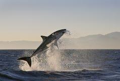 开普敦,鲨鱼,兴奋跳出水,在您的生活中看起来伟大,大家必须一次看这个场面 免版税库存图片