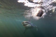 开普敦,鲨鱼,水下的看法,伟大的看起来,大家应该一次看到这个场面在您的生活中 免版税库存照片