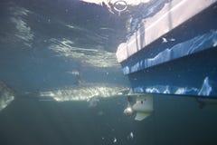 开普敦,鲨鱼,水下的看法,攻击我的帐篷,看起来伟大,大家的鲨鱼应该一次看到这个场面在生活中 免版税库存图片
