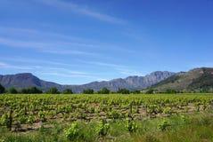 开普敦Wineyard在山背景中 免版税图库摄影