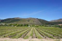 开普敦Wineyard在山背景中 库存图片