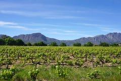开普敦Wineyard在山背景中 免版税库存图片
