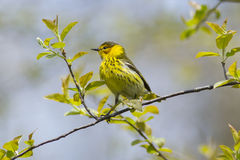 开普梅在春天migra期间的鸣鸟鸟 库存照片