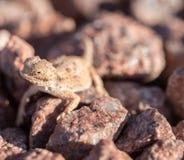 离开有角的蜥蜴,有角的蟾蜍- Phrynosoma platyrhinos 库存图片