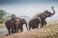 离开河的泰国大象 库存图片