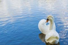 开的天鹅夫妇浪漫会议 免版税库存图片