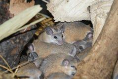 开罗多刺的老鼠- Acomys cahirinus dimidiatus 图库摄影