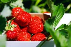 开胃和可口美丽的草莓 新鲜的草莓 免版税库存照片