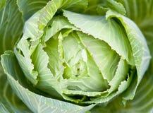 开胃圆白菜绿色 免版税图库摄影
