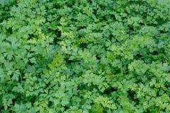 开胃新鲜的绿色荷兰芹在庭院床上增长作为背景或背景 库存照片
