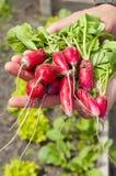 开胃新鲜的萝卜在手上 免版税图库摄影