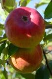 开胃苹果树 库存图片