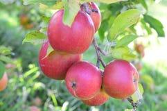开胃苹果树 免版税库存照片
