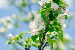 开花一棵苹果树在春天庭院里 唤醒本质 免版税库存照片
