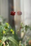 开花上升了,室内植物 免版税图库摄影