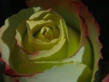 开花上升了 黄色瓣的芽有一个红色边界的 免版税库存照片