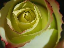 开花上升了 黄色瓣的芽有一个红色边界的 库存图片