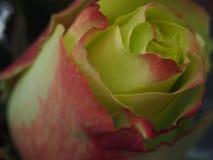 开花上升了 黄色瓣的芽有一个红色边界的 免版税库存图片