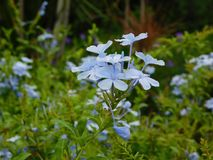 开花与一新的天的光的蓝色花的一个美好的领域 免版税库存照片