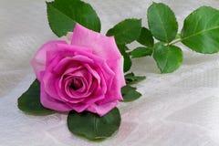 开花与叶子的明亮的桃红色玫瑰在whi背景  免版税库存照片