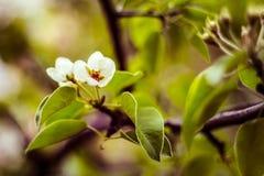 开花与叶子的梨 免版税库存图片
