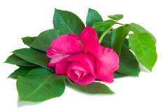 开花与叶子的红色玫瑰在白色背景 库存图片