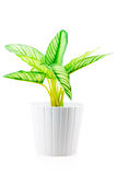 开花与在一个白色罐的绿色叶子 库存照片
