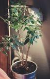 开花与在一个罐的绿色叶子在桌上 图库摄影