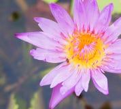 开花与在上面的昆虫的桃红色莲花 免版税库存照片